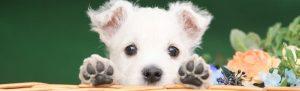 ウエスティの子犬