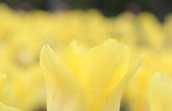 黄色いチューリップたち