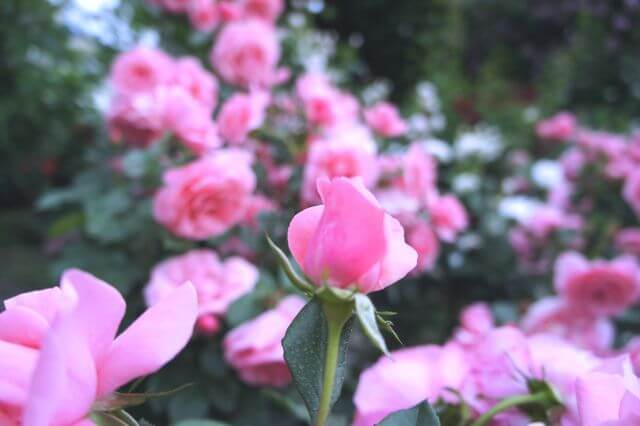 中野市一本木公園のバラ